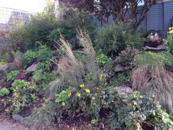 Wild native shrubs in front yard